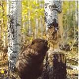 beaver at work